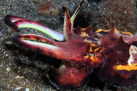 flamboyant: Flamboyante inktvissen