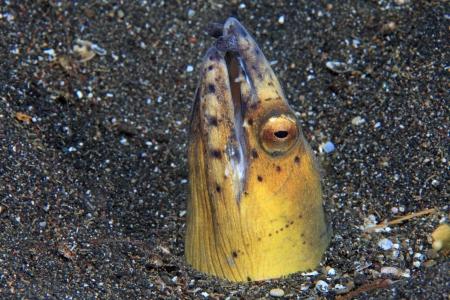 sealive: Black-finned snake eel