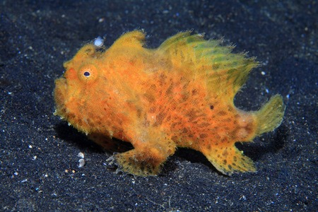 Harige frogfish