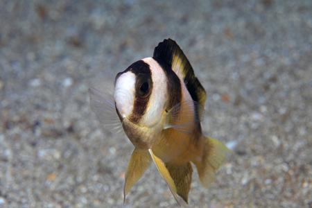 seawater: Black-banded Damselfish