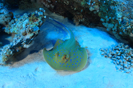 taeniura: Stingray Bluespotted nella barriera corallina del Mar Rosso