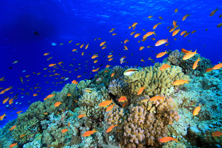 Colorful fish in the tropical reef of the red sea  photo