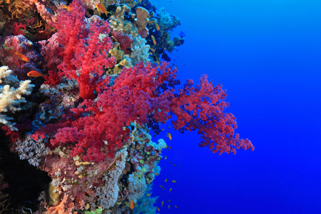 sharm el sheik: Red soft coral in the tropical reef of the red sea  Stock Photo
