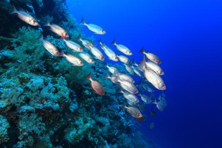 Shoal van grootoogtonijn zitstokken in de rode zee Stockfoto