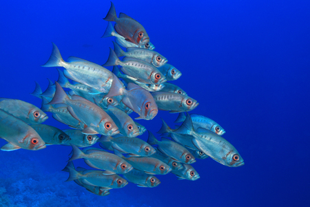 Shoal of bigeye perches in the red sea  photo