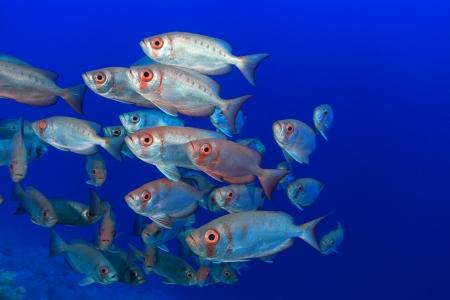 sharm el sheik: Shoal of bigeye perches in the red sea