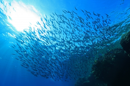 Shoal of sardines in the blue water of the red sea
