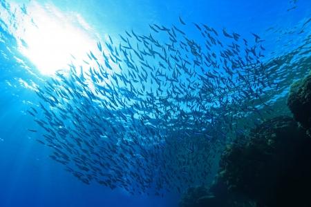 Shoal van sardines in het blauwe water van de Rode Zee