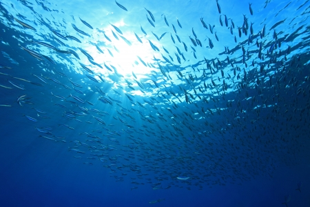 schooling: Shoal of anchovies in the blue water of the red sea Stock Photo