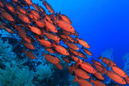 Shoal van rode bigeye zitstokken in de rode zee Stockfoto