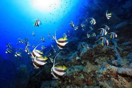 chaetodontidae: Shoal of longfin bannerfish in the red sea