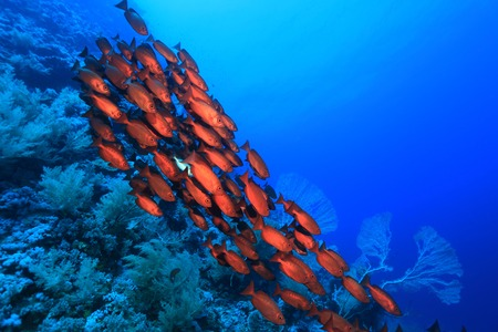 dive trip: Shoal of red bigeye perches in the red sea  Stock Photo
