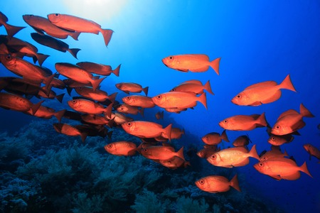 Shoal of red bigeye perches in the red sea  Stock Photo