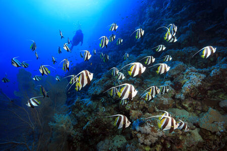 chaetodontidae: Shoal of longfin bannerfish in the red sea