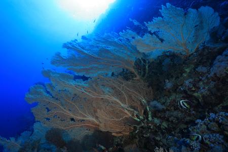 gorgonian sea fan: Gorgonian sea fan coral in the red sea  Stock Photo