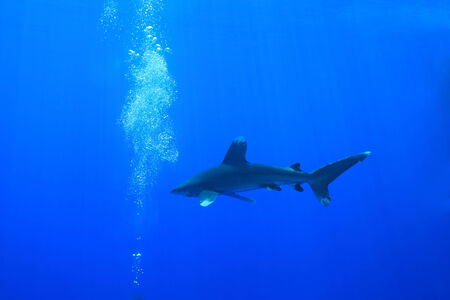 oceanic: Oceanic whitetip shark in the red sea