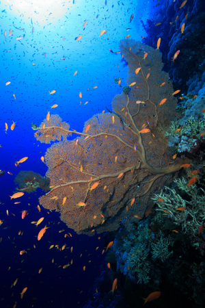 gorgonian: Gorgonian sea fan coral in the red sea  Stock Photo