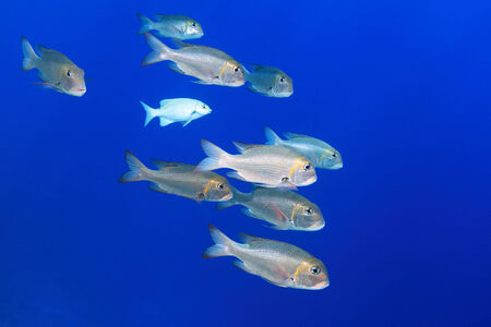 Shoal of Bigeye emperor fish  photo