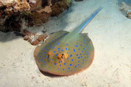 spotted ray: Bluespotted stingray