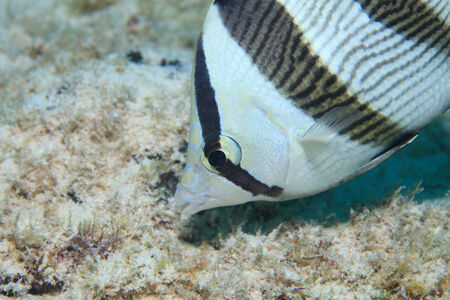 Banded butterflyfish Stock Photo - 29128521