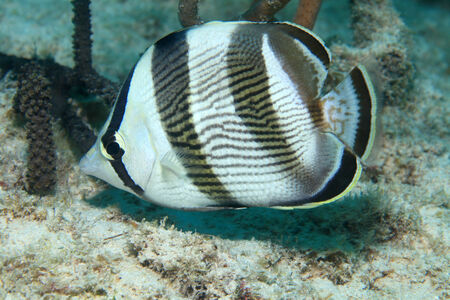 Banded butterflyfish  Stock Photo - 29128522