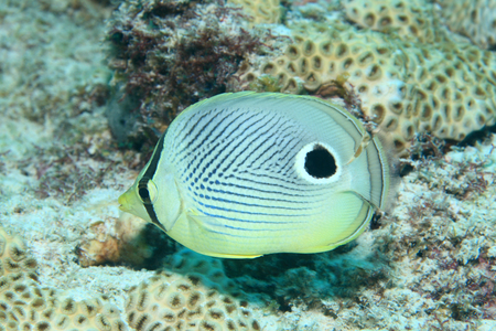 Foureye butterflyfish  Stock Photo - 29128523