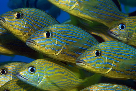 Shoal of blue striped grunts  photo