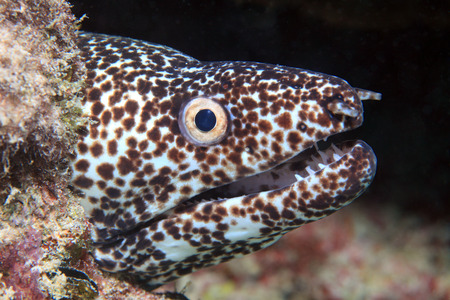 spotted: Spotted moray eel Stock Photo