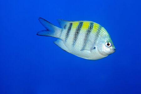 major ocean: Sergeant major damselfish  Stock Photo