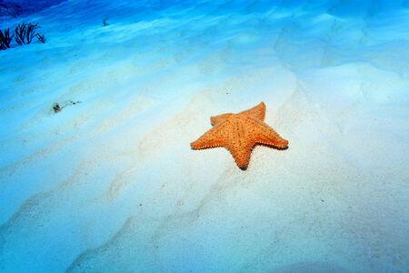 riviera maya: Cushion sea star  Stock Photo
