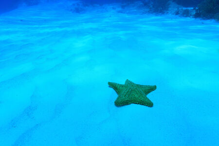 oreaster reticulatus: Cushion sea star  Stock Photo