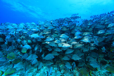 school of fish: Shoal of sailors choice grunts