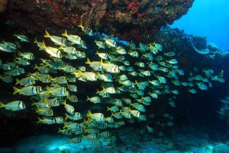 reef fish: Shoal of porkfish grunts