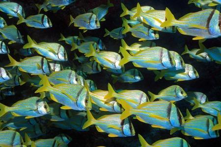 shoal: Shoal of porkfish grunts