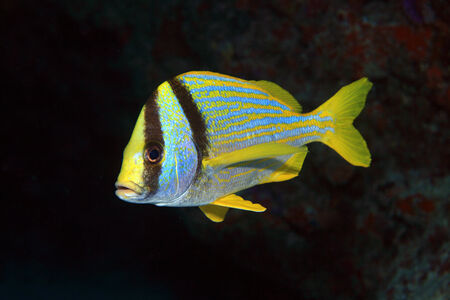 Porkfish grunt  photo