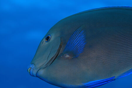 wildlive: Blue tang surgeonfish  Stock Photo