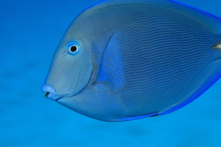 surgeonfish: Blue tang surgeonfish  Stock Photo