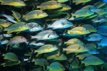 reef fish: Shoal of grunt fish underwater