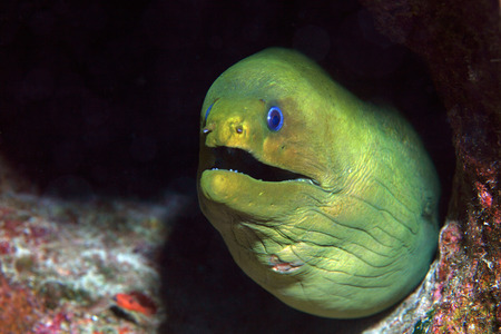 Green moray eel  Stock Photo