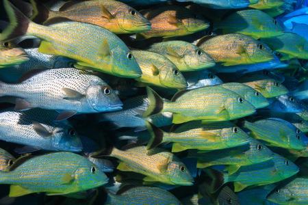 school of fish: Shoal of grunt fish underwater