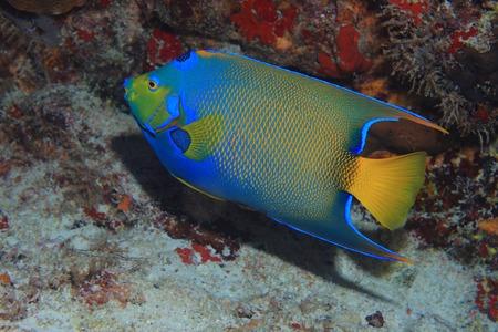 gorgeus: Queen angelfish Stock Photo