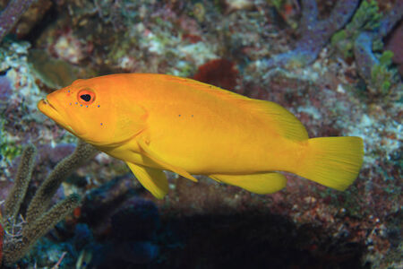 epinephelus: Coney grouper
