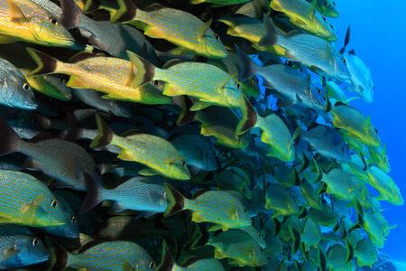 grunt: Shoal of grunt fish