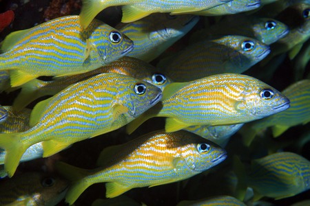 Fish shoal of french grunts  photo