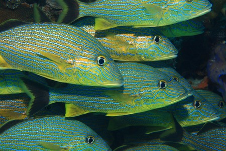 blue fish: Fish shoal of blue striped grunts