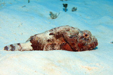 spotted: Spotted scorpionfish Stock Photo