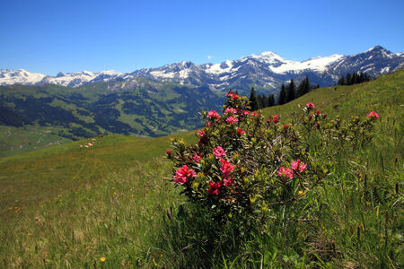 Alpenrose plant with mountains photo