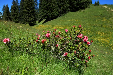 tourismus: Alpine rose plant in the swiss mountains Stock Photo