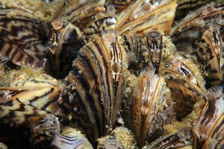 Zebramuscheln Standard-Bild - 34517094