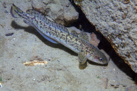 Burbot fish Stock Photo